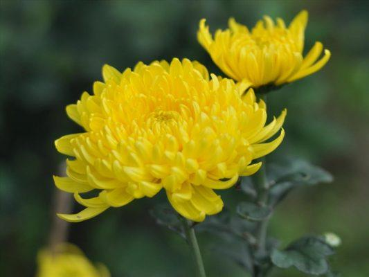 Chrysanthemum (Hoa cúc)