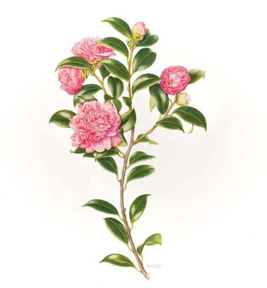 Cây hoa trà my (sơn trà Nhật Bản)