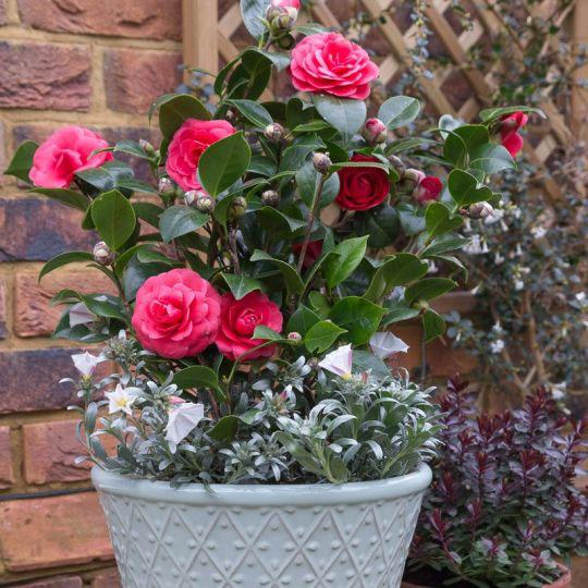 Chăm sóc cây hoa trà my sau tết đúng cách